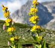 Genziana d'Abruzzo