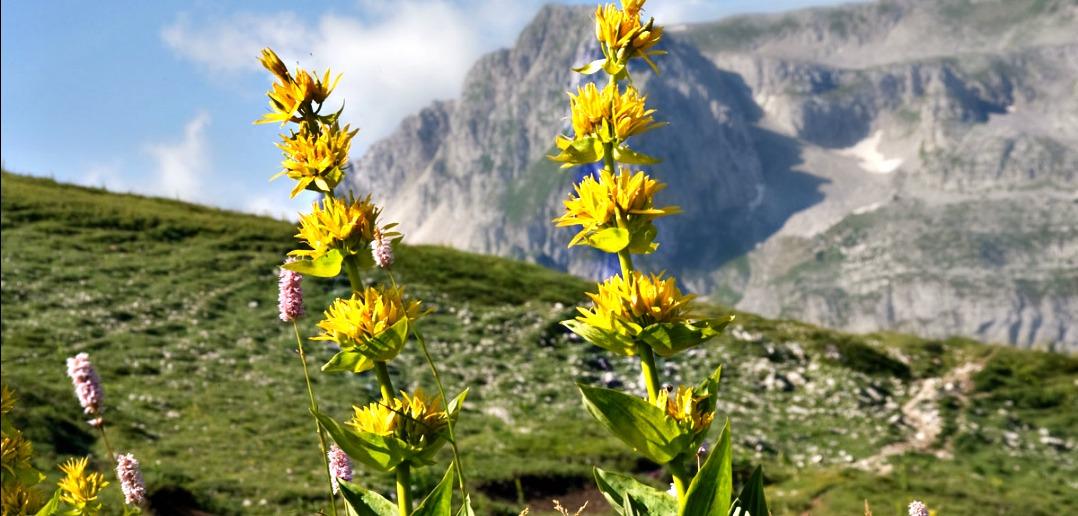 La genziana una pianta miracolosa eccellenze d 39 abruzzo for Una storia a pianta aperta